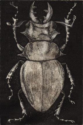 Grey Beetle on Black