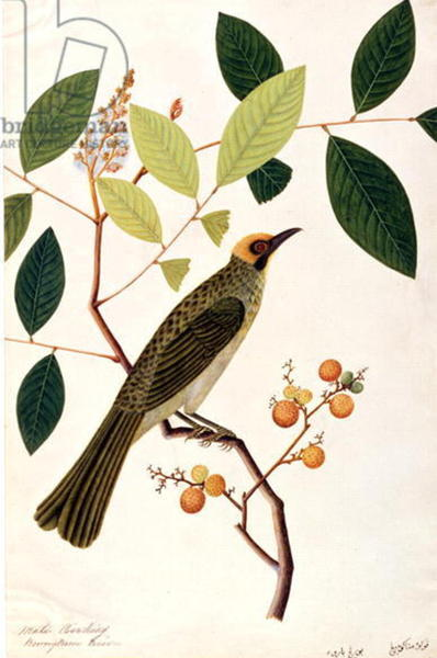 Mata Cooching, from 'Drawings of Birds from Malacca'