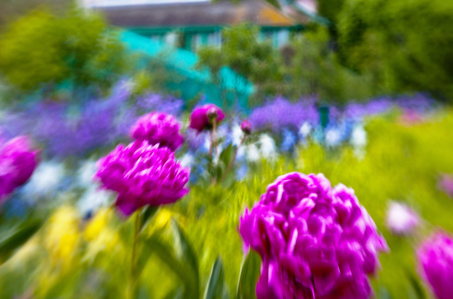 Peonies at  Giverney Gardens