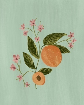 Peach Botanical Illustration