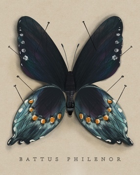 The Study of Butterflies No. 1