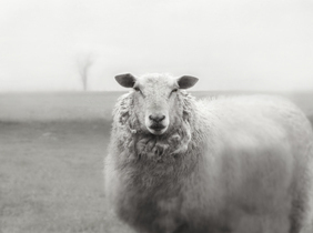 Ewe in the Pasture