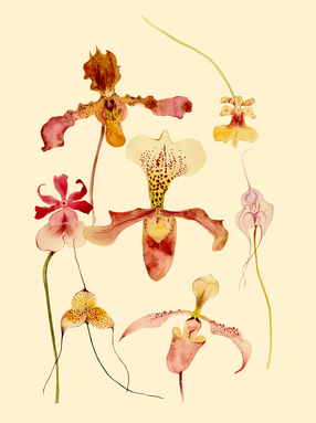 Decorative orchids