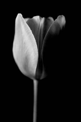 black and white tulip photograph
