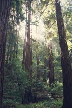 Light in the Redwoods