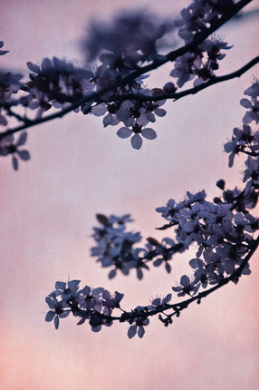 blossoms at dusk