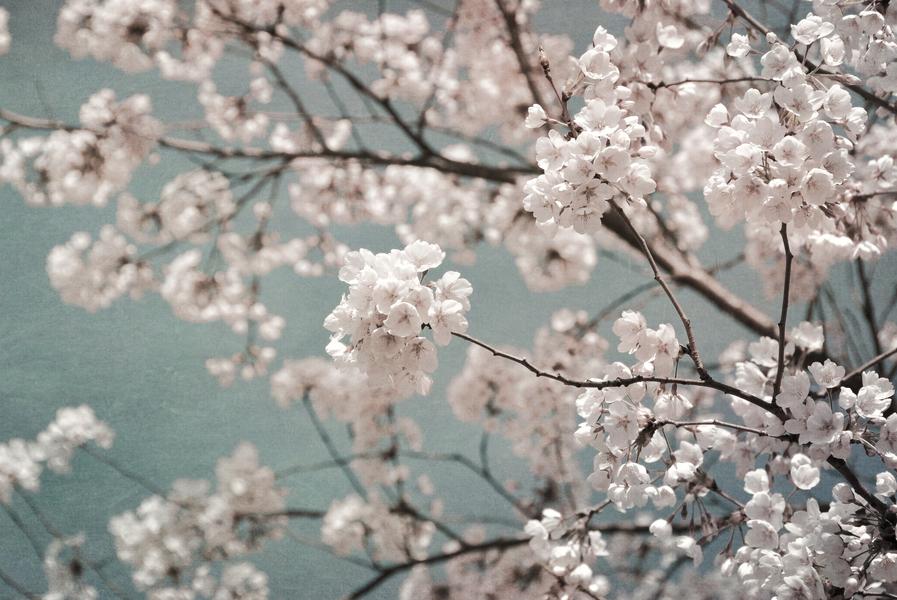 sky full of blossoms