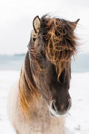 Icelandic Horse II