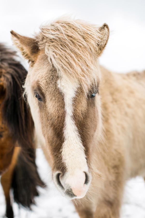 Icelandic Horse III