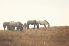 Wild horses of North Dakota