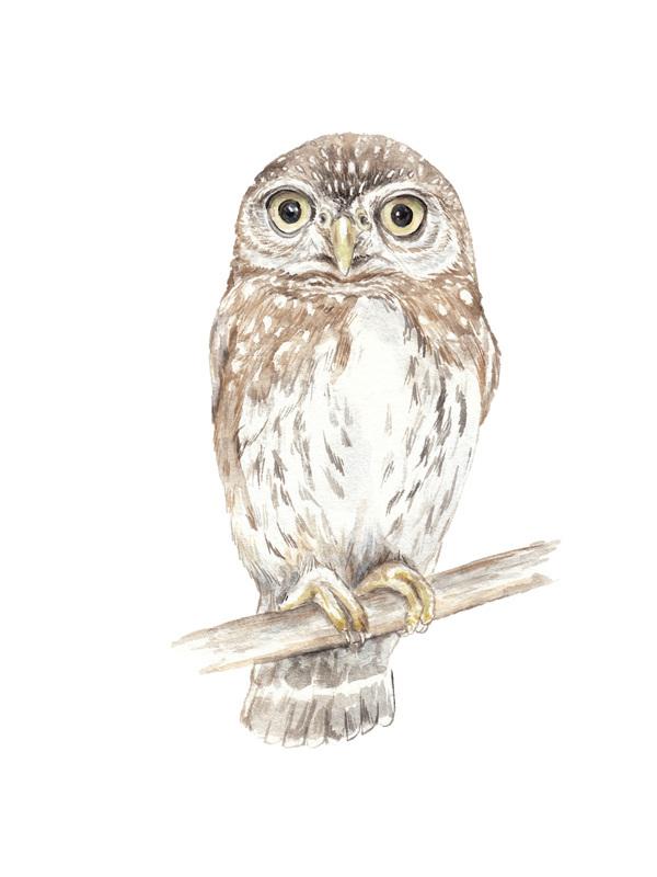 Pygmy Owl Watercolor Lauren Rogoff Artfully Walls