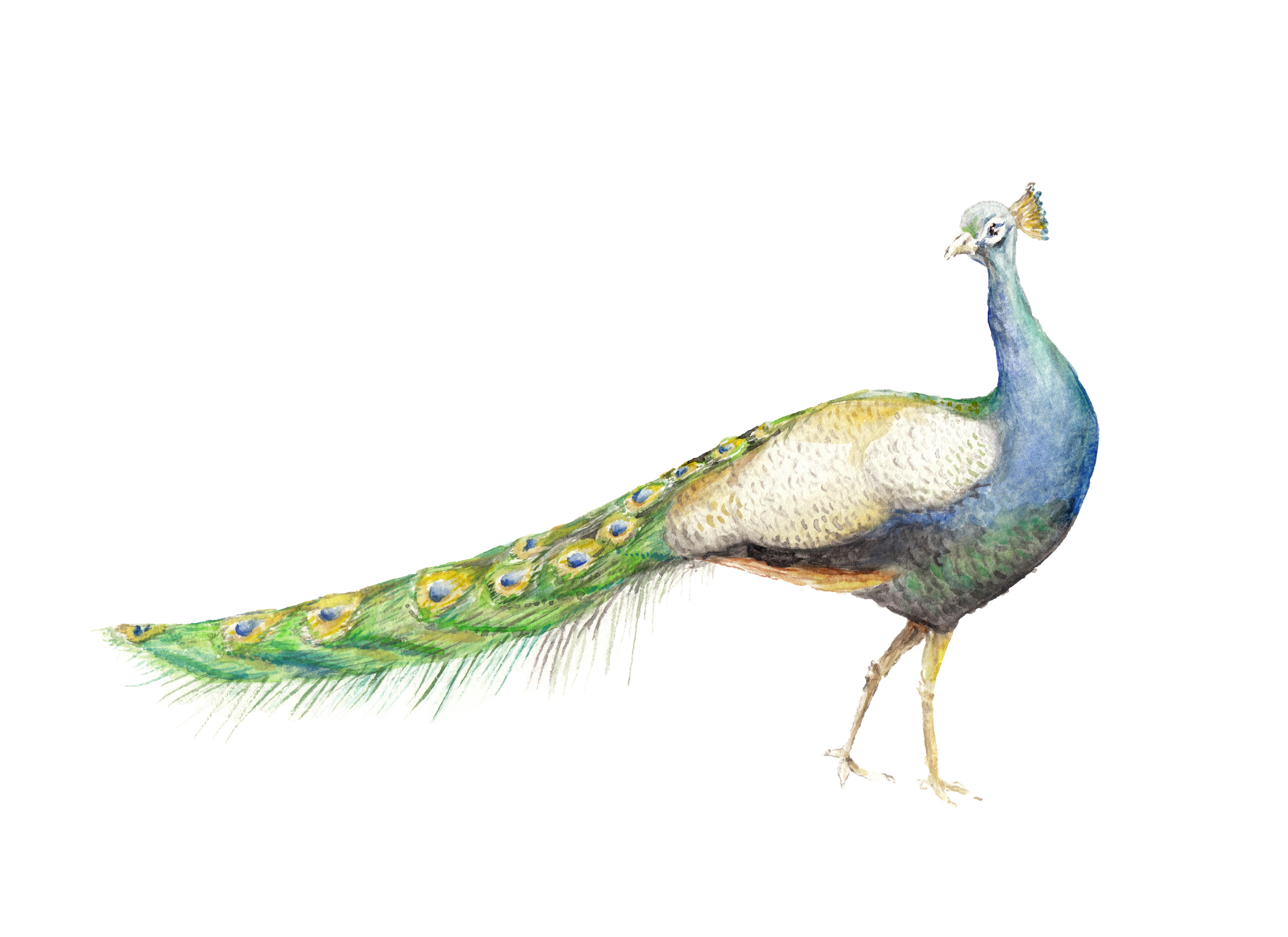 Watercolor Peacock Bird