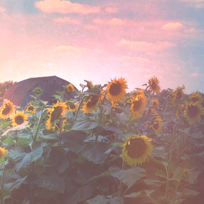 Evening Sunflower Field