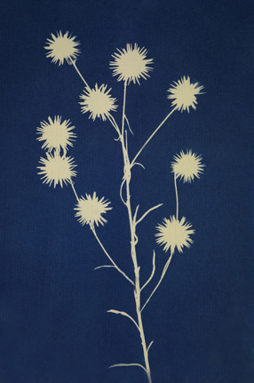 cyanotype flowers