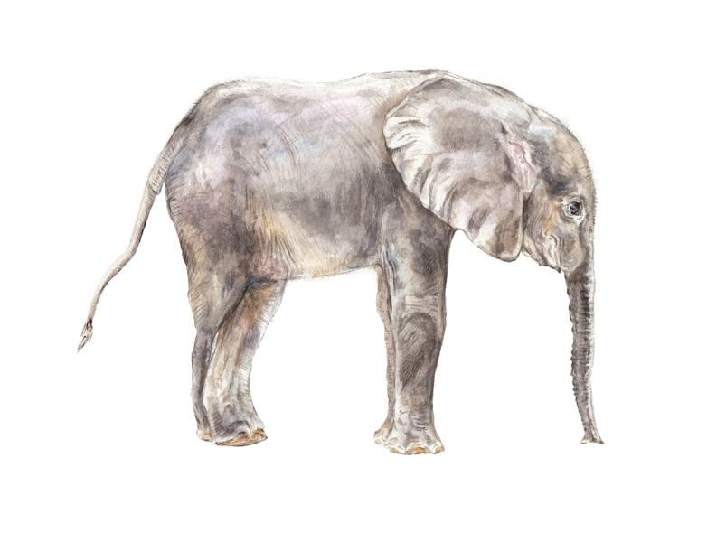 4ef04f20a7db2a Baby Elephant Watercolor by Lauren Rogoff | Artfully Walls