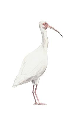Watercolor Ibis Bird